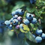 """Berry"" Good News: Maine Blueberry Festivals to be Held Late Summer"