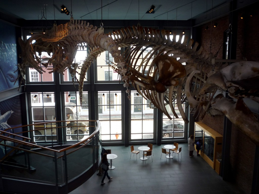 Photo of a whale skeleton at the New Bedford Whaling Museum