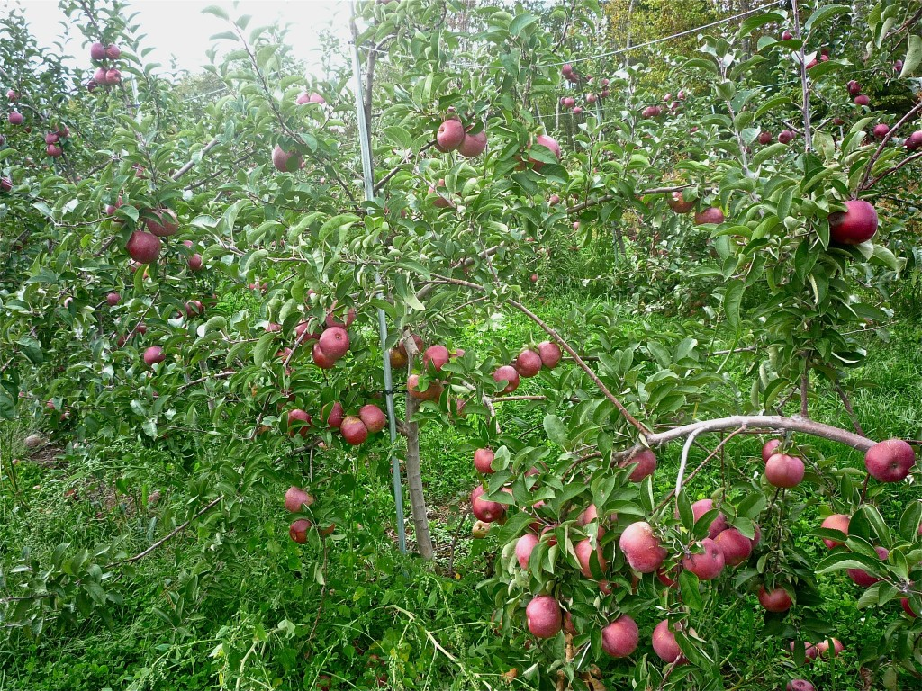 New England apple orchards