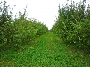 Apple Orchards, Brookfield Orchards, North Brookfield MA
