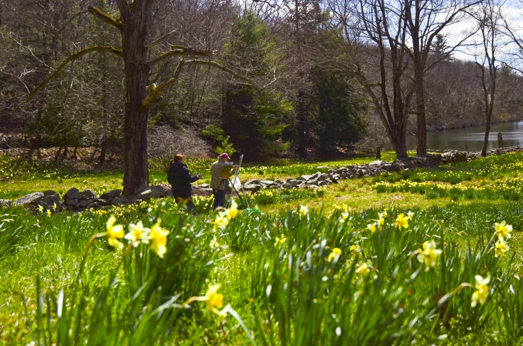 Daffodils in Litchfield Hills, Conn., in Full Bloom