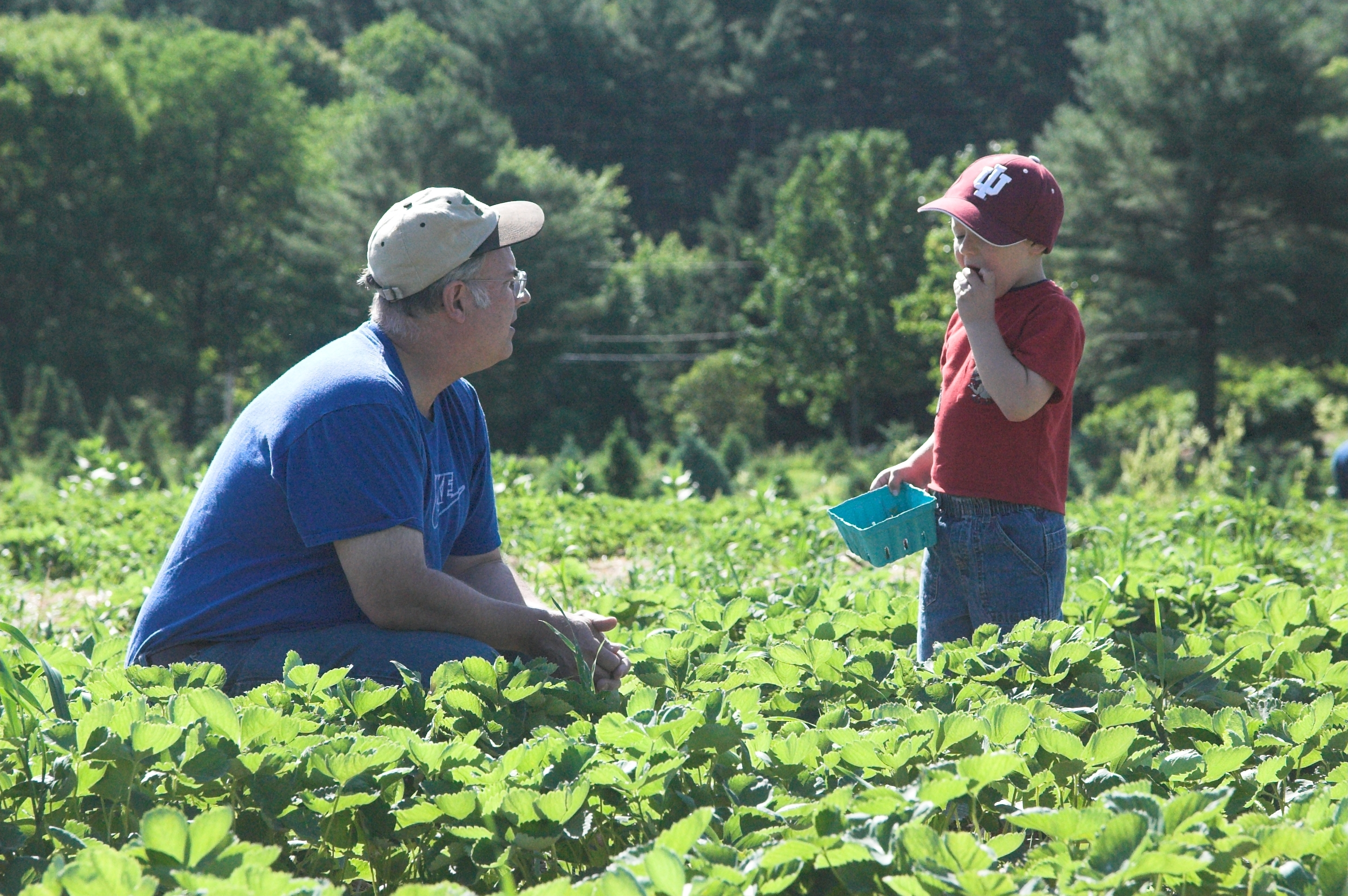 Where to Find Strawberry Picking Farms in Londonderry, N.H.