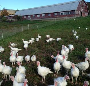 6 New England Farms That Sell Organic, Pastured, Free Range Turkeys