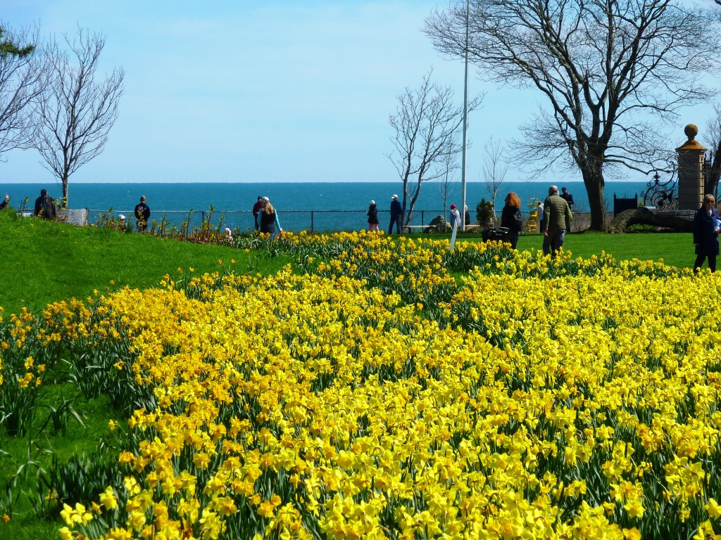 Daffodils in the spring at The Cliff Walk in Newport, R.I.