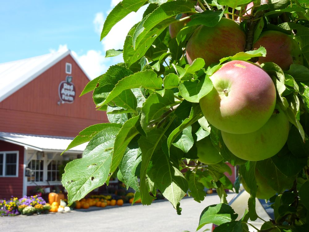 Red Apple Farm is a great place for apple picking in north central Massachusetts.