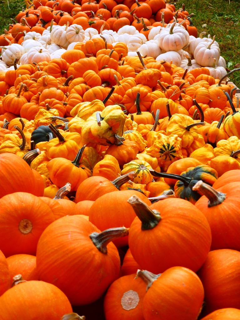 Smaller pumpkins at the Pumpkin Patch at the Epiphany Parish in Walpole, Mass.