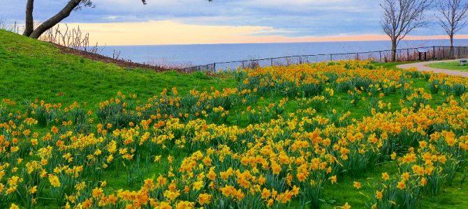 Daffodils at the Cliff Walk, Salve Regina University in Newport, R.I