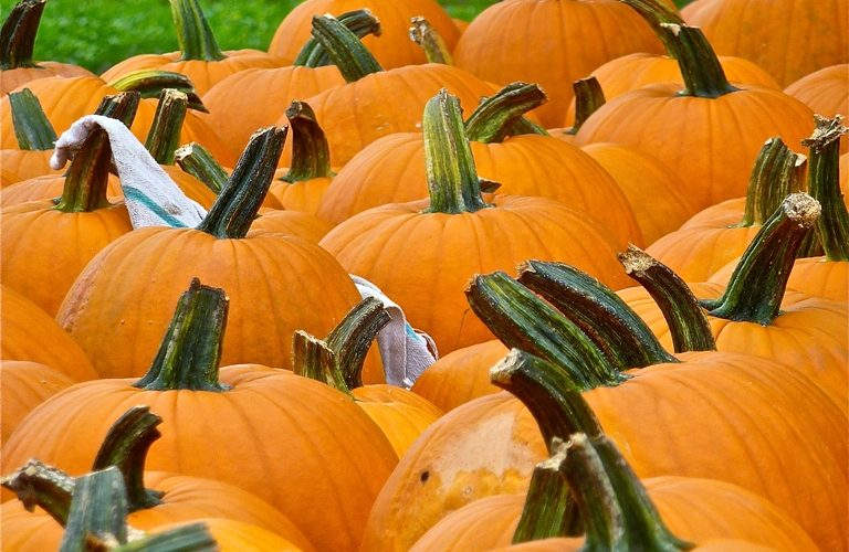 Pumpkins in the New England fall time.