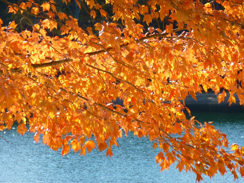 Bright orange fall foliage at Walden Pond in Concord, Massachusetts.