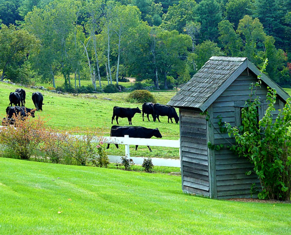 Cows in the field at the Salem Cross Inn in West Brookfield, Mass.